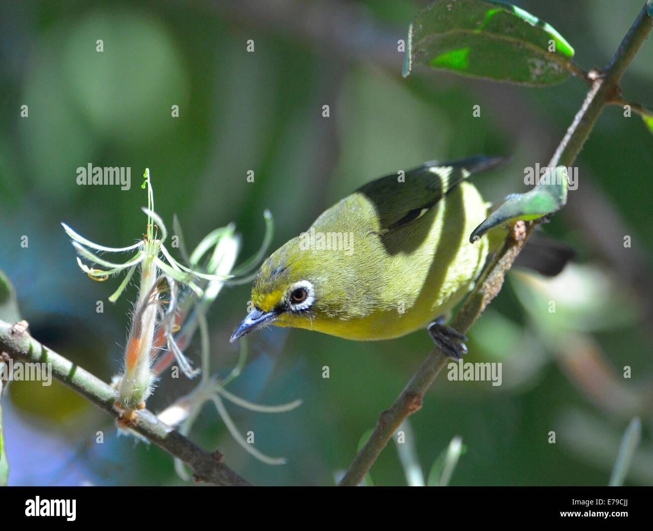 Cape mit Auge Vogel Essen Nektar von parasitären Pflanze, Kruger Park, Südafrika Stockbild