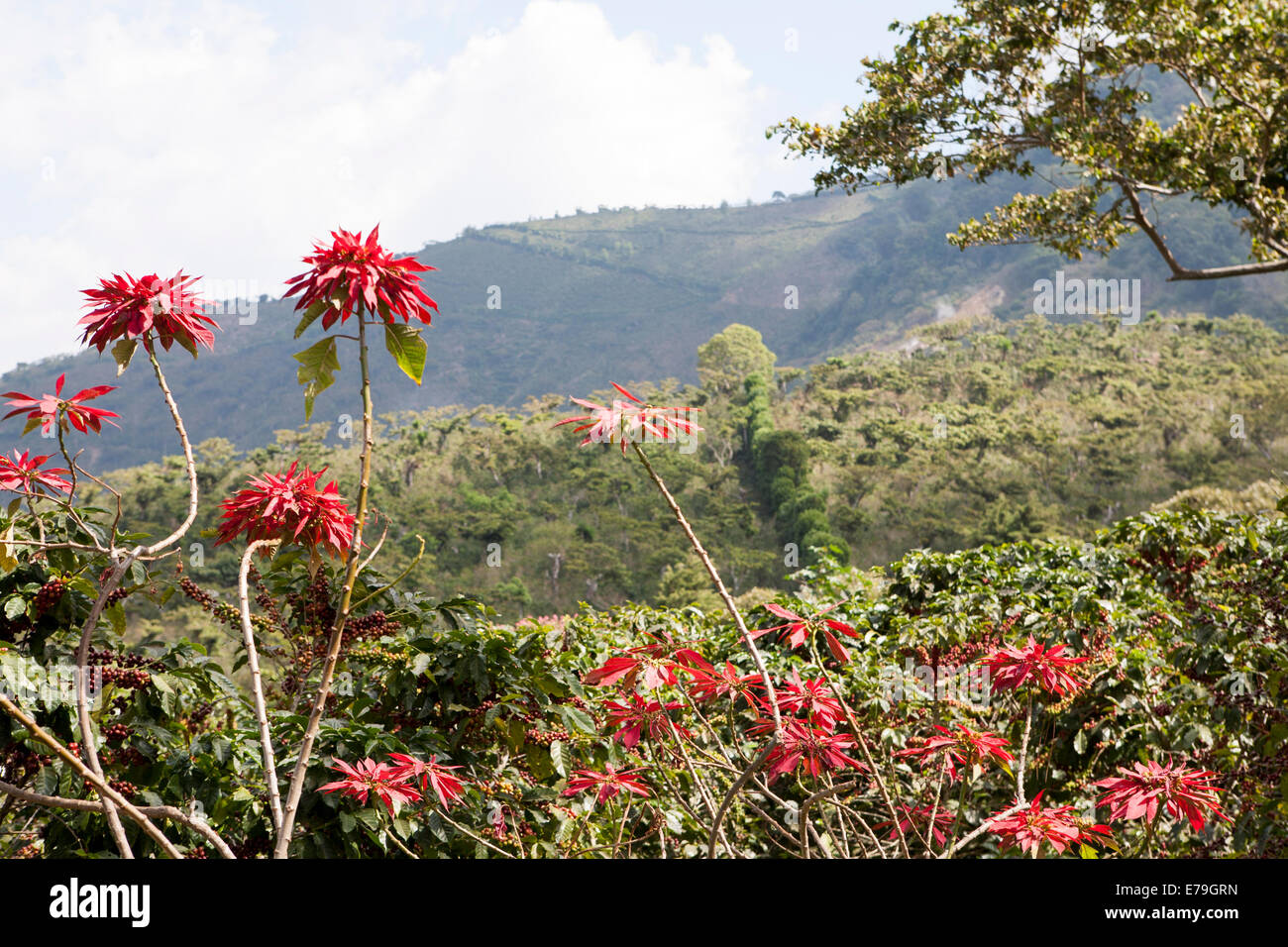 Kaffee Produktion El Salvador Stockbild