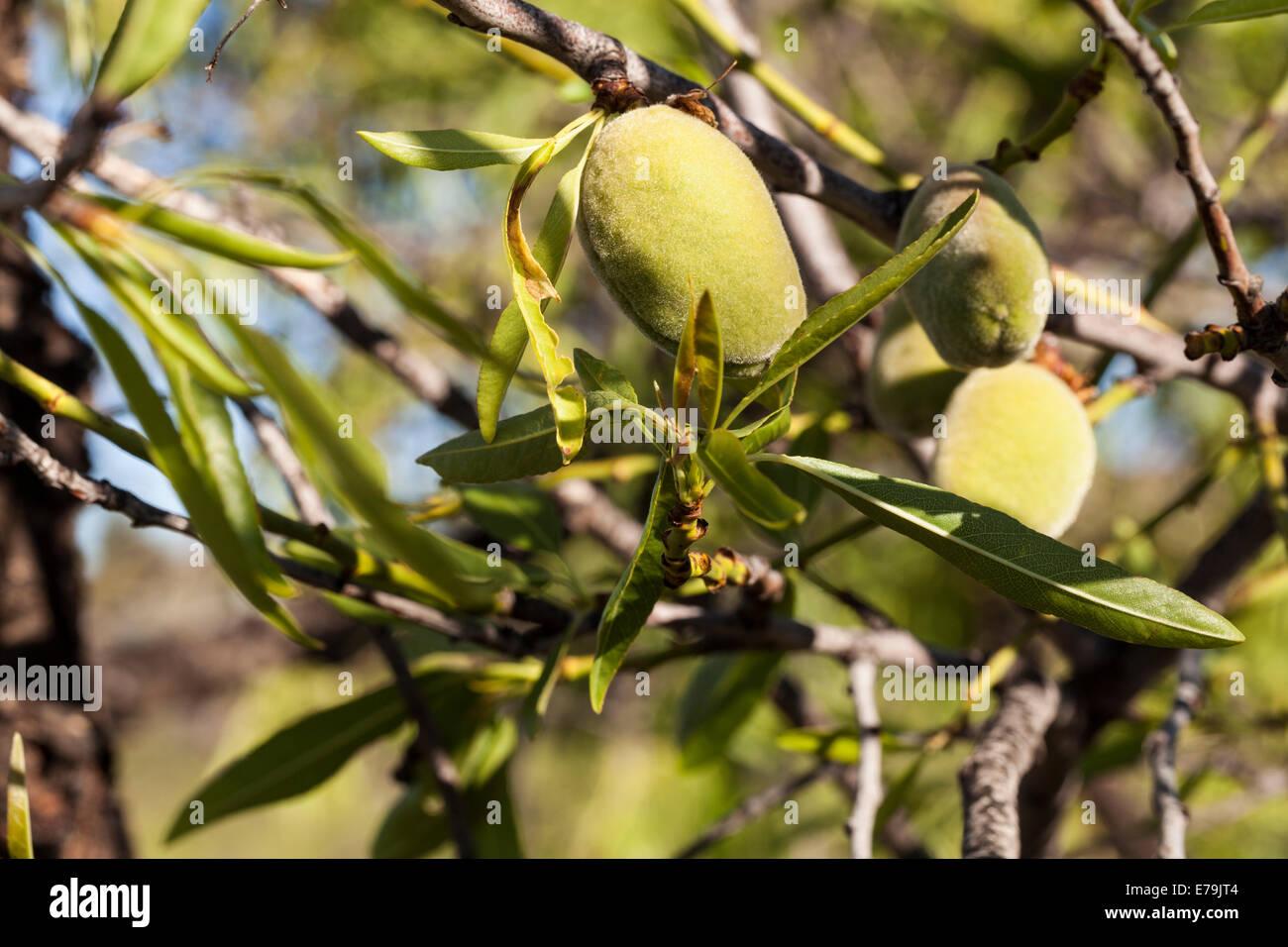 Prunus dulcis mandel frucht auf einem baum in teneriffa - Baum auf spanisch ...