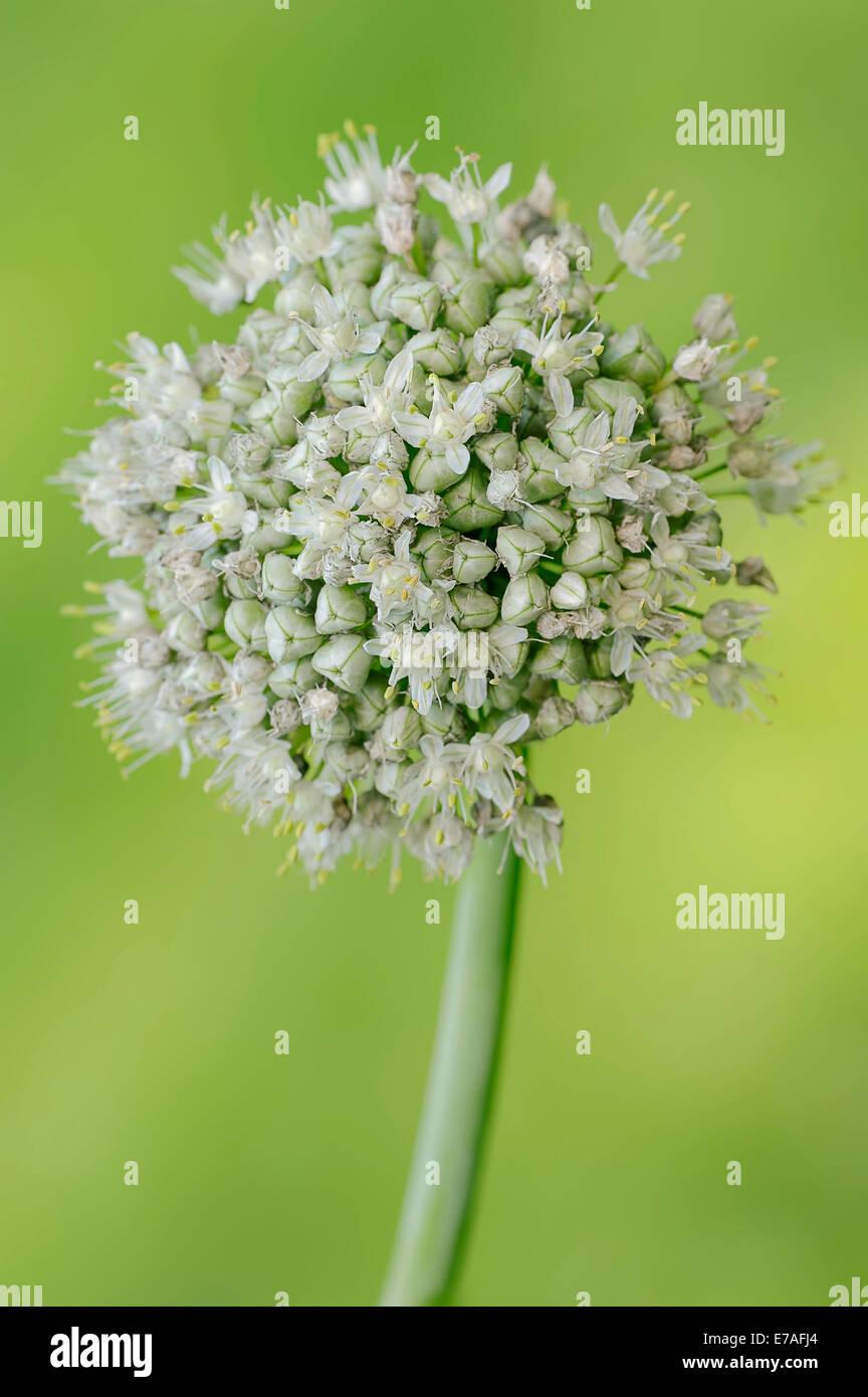 Gemeinsamen Zwiebel (Allium Cepa), Blüte, Deutschland Stockbild