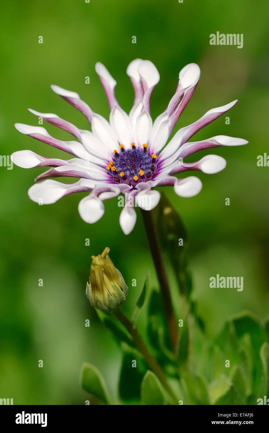 Kap-Marguerite (Dimorphotheca Ecklonis, Osteospermum Ecklonis), Blüte, ursprünglich aus Südafrika Stockfoto