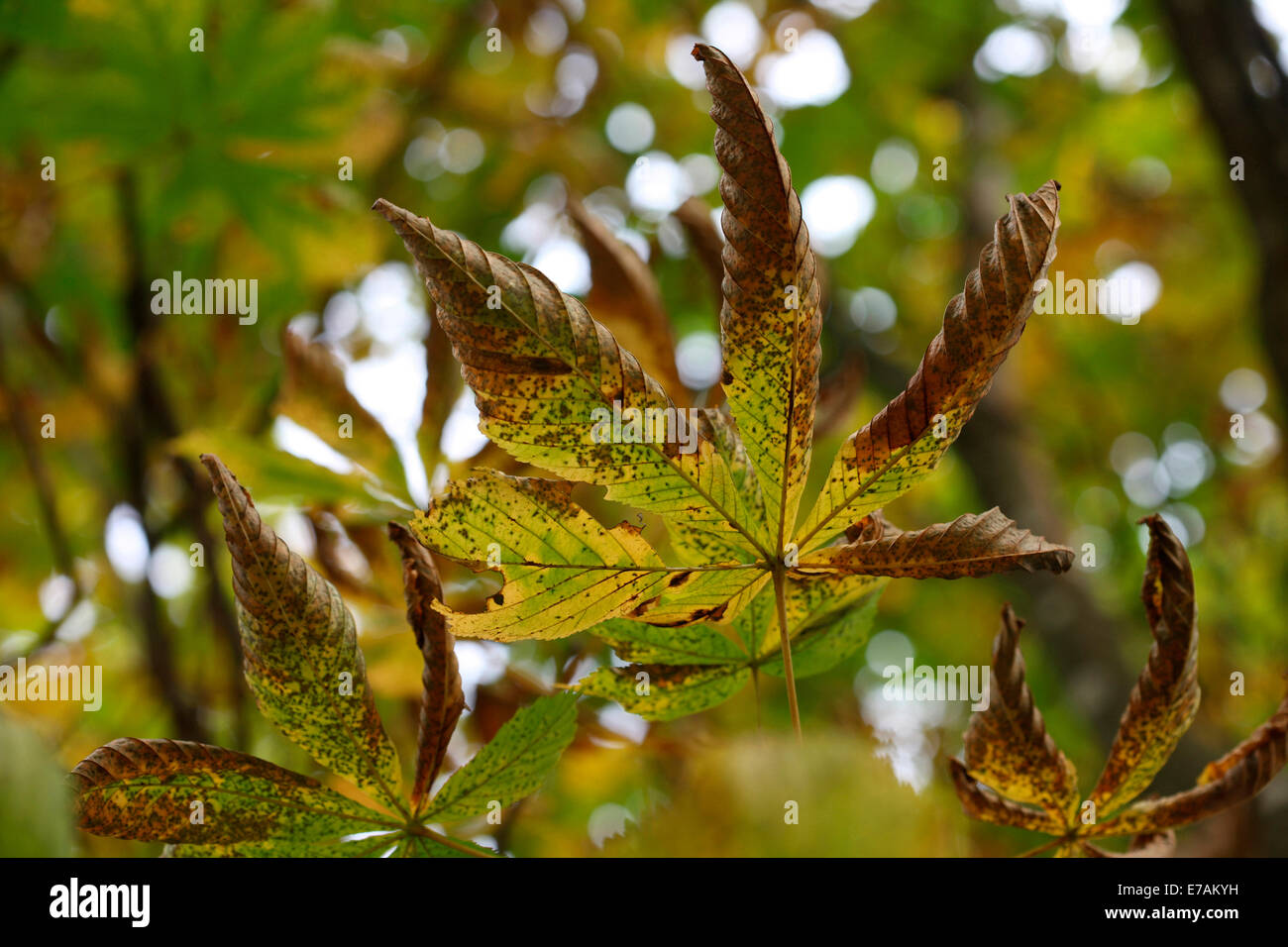 chestnut tree autumn stockfotos chestnut tree autumn bilder alamy. Black Bedroom Furniture Sets. Home Design Ideas