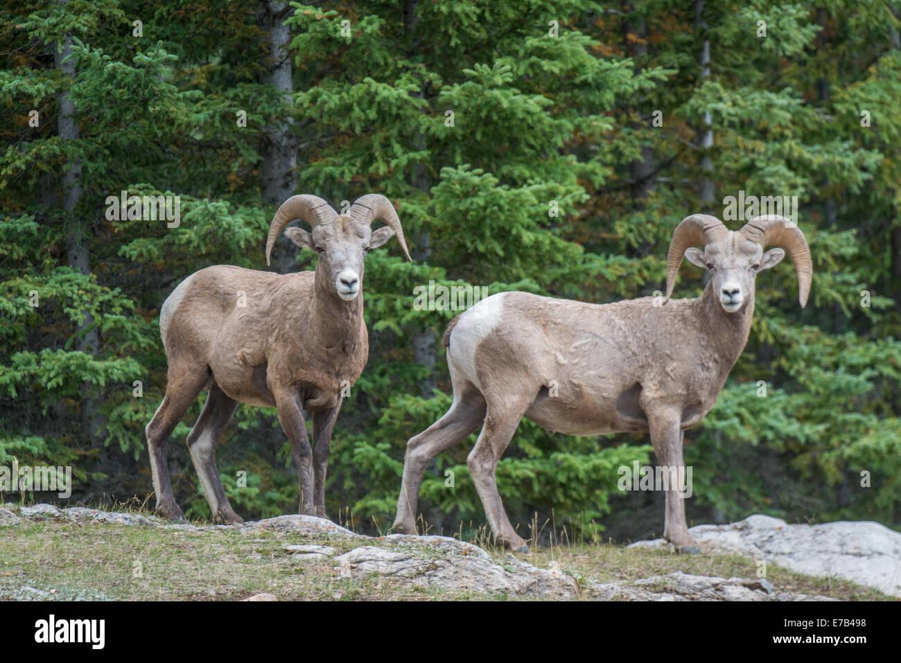 Bighorn Schafe in den kanadischen Rockies Stockbild