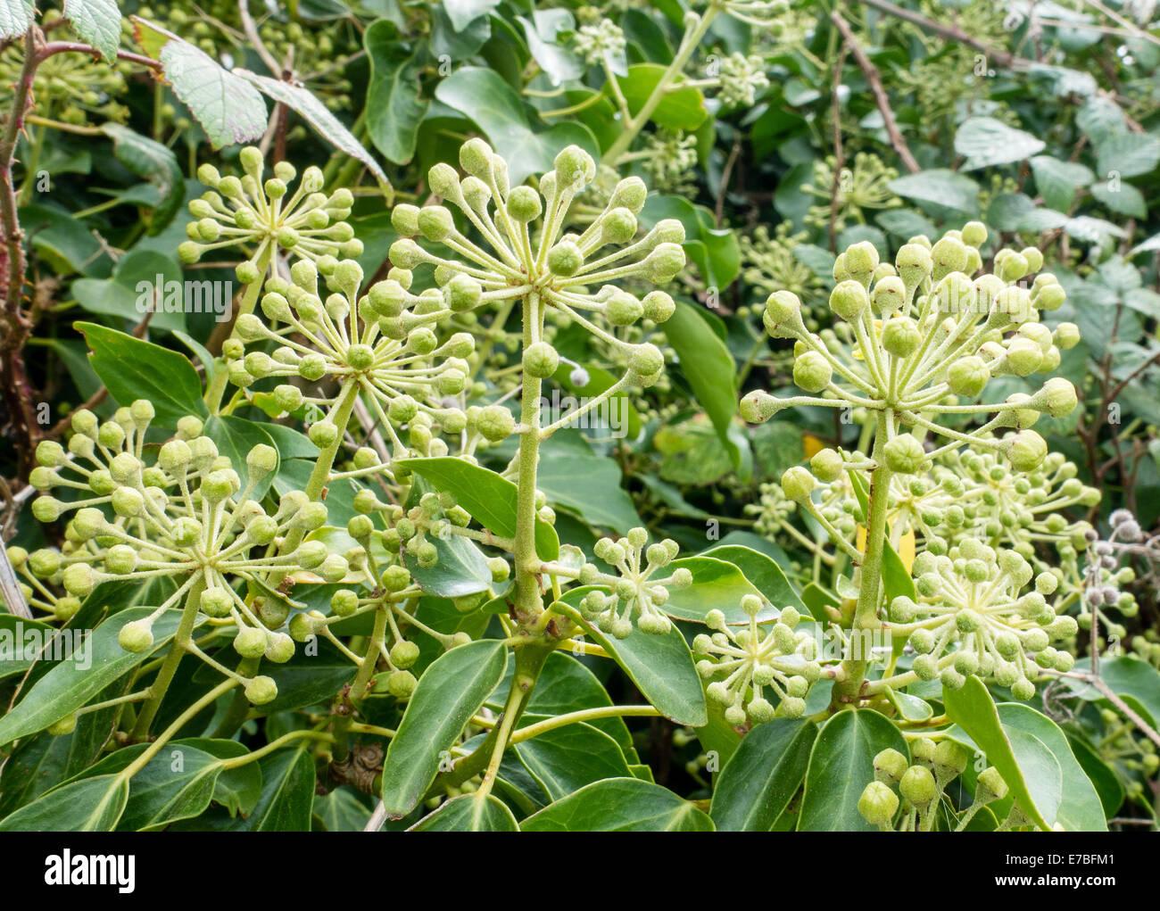 Blüten der wilden gemeinsamen Efeu Hedera Helix in einem englischen Hecke Stockfoto