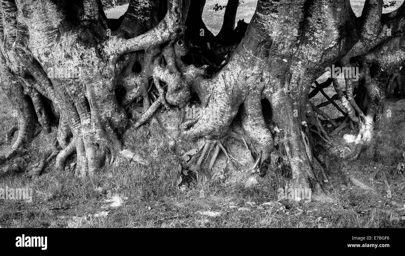 Knorrige Wurzeln einer alten Buche Hecke in Somerset England Kennzeichnung eine Feldgrenze Stockbild