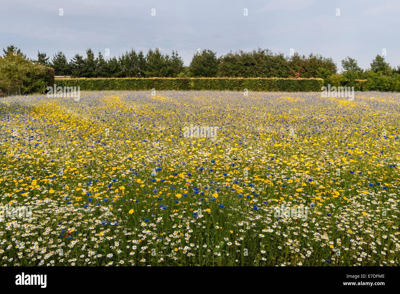 Osten Ruston alte Pfarrhaus Gärten, Norfolk, Großbritannien. Das Maisfeld ist bepflanzt mit einer Mischung Stockbild