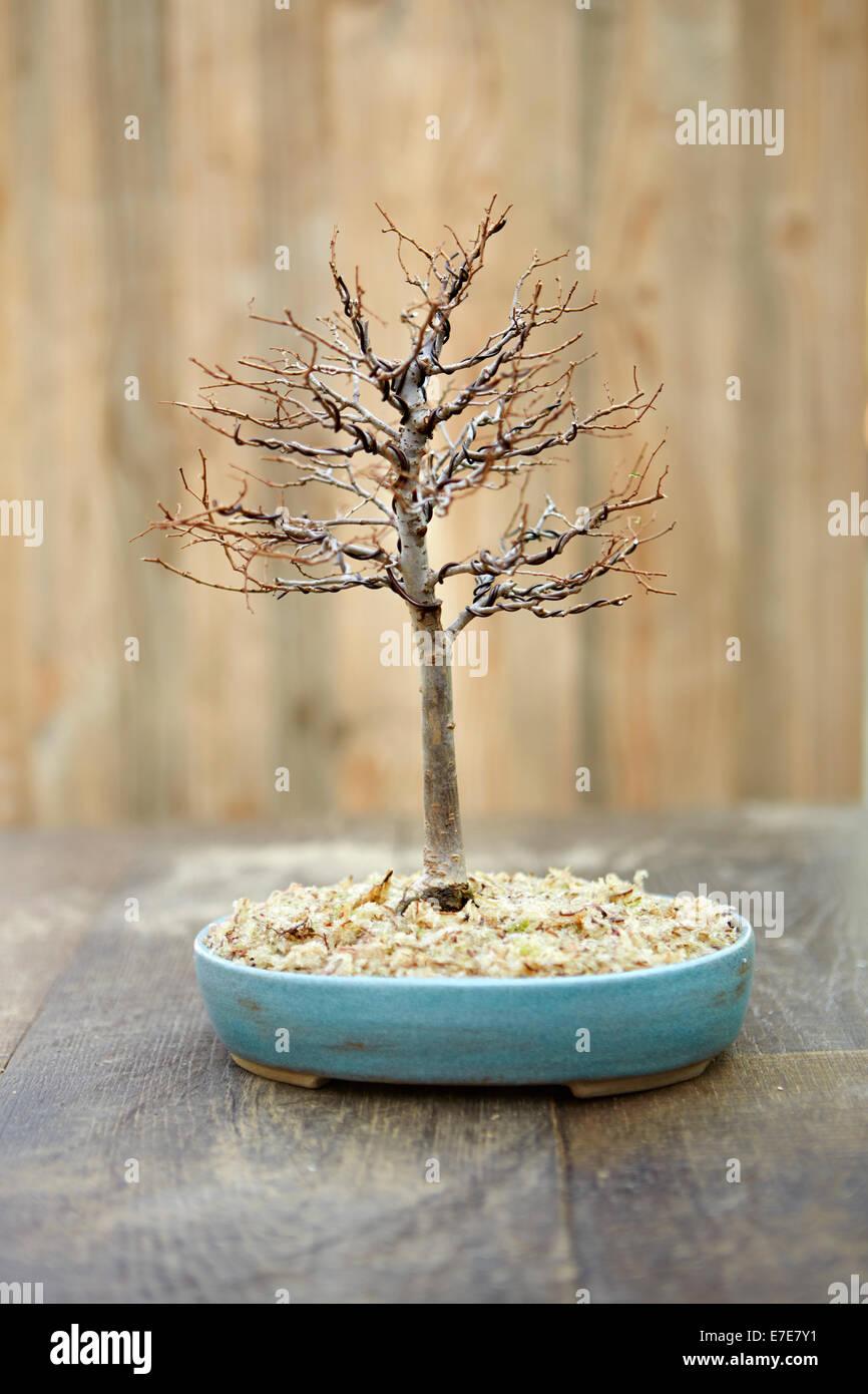 bonsai zelkova vorbereitung zum umtopfen stockfoto bild. Black Bedroom Furniture Sets. Home Design Ideas