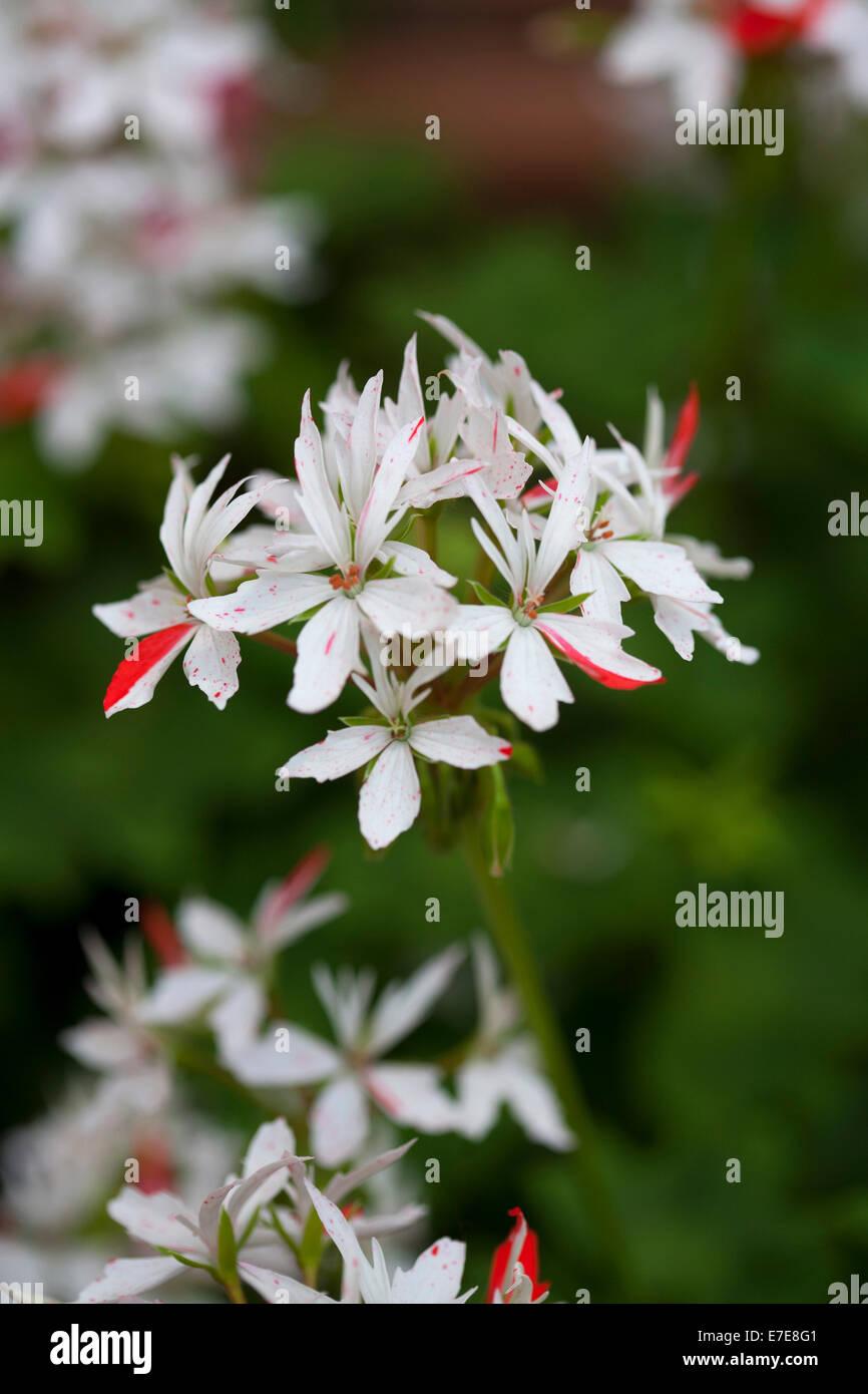 """Pelargonium """"Vectis Glitter"""" Stockbild"""