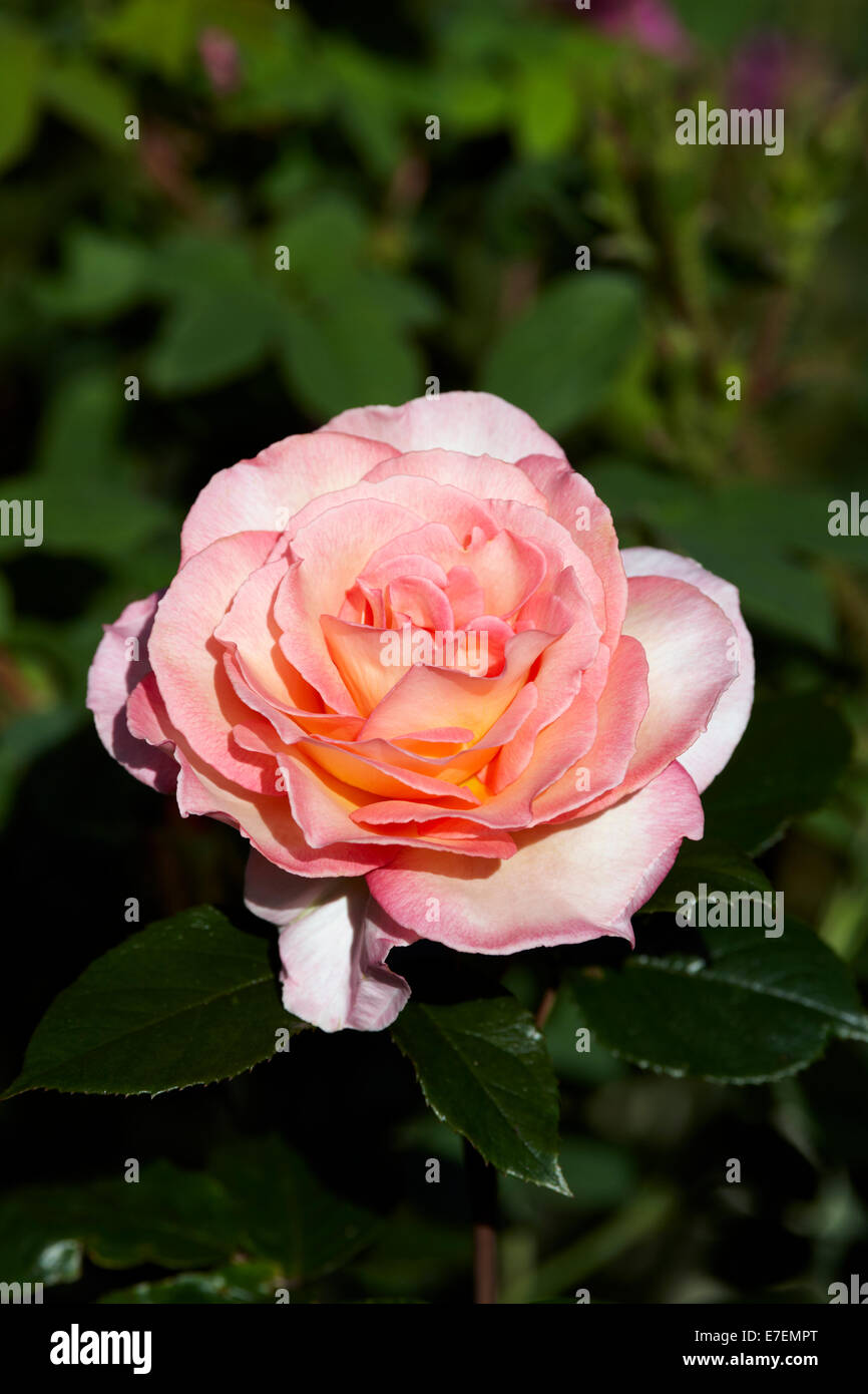 Rosa 'Immer Remember Me' Stockbild
