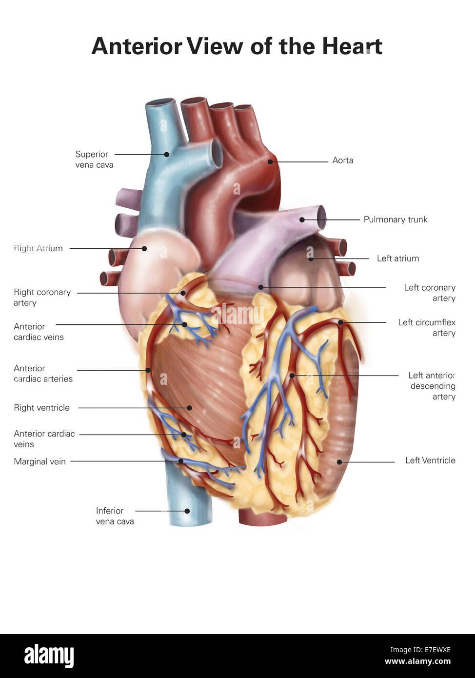 Ansicht von ventral des menschlichen Herzens Stockfoto, Bild ...