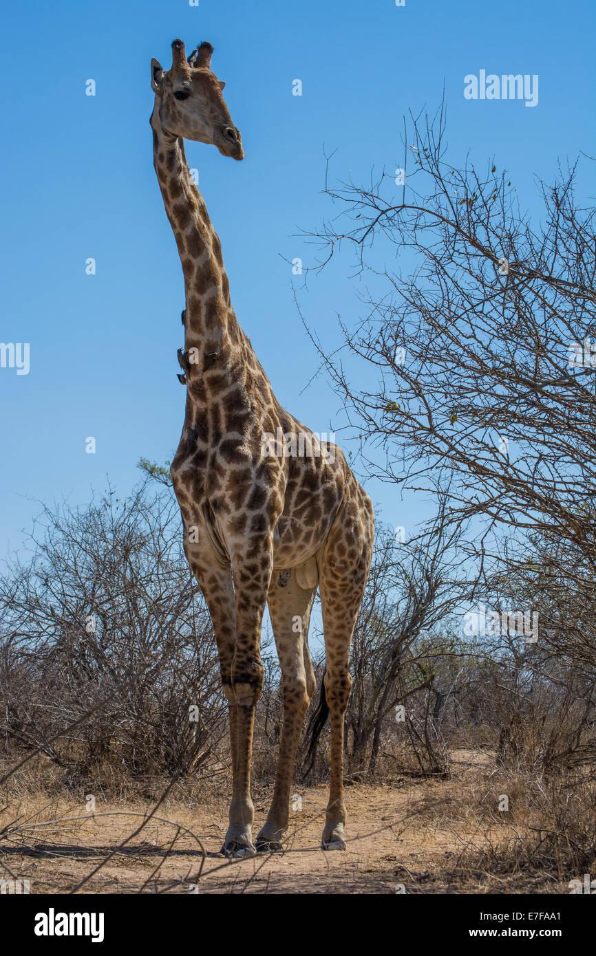 Groß Giraffe Farbung Seite Ideen - Malvorlagen Von Tieren - ngadi.info