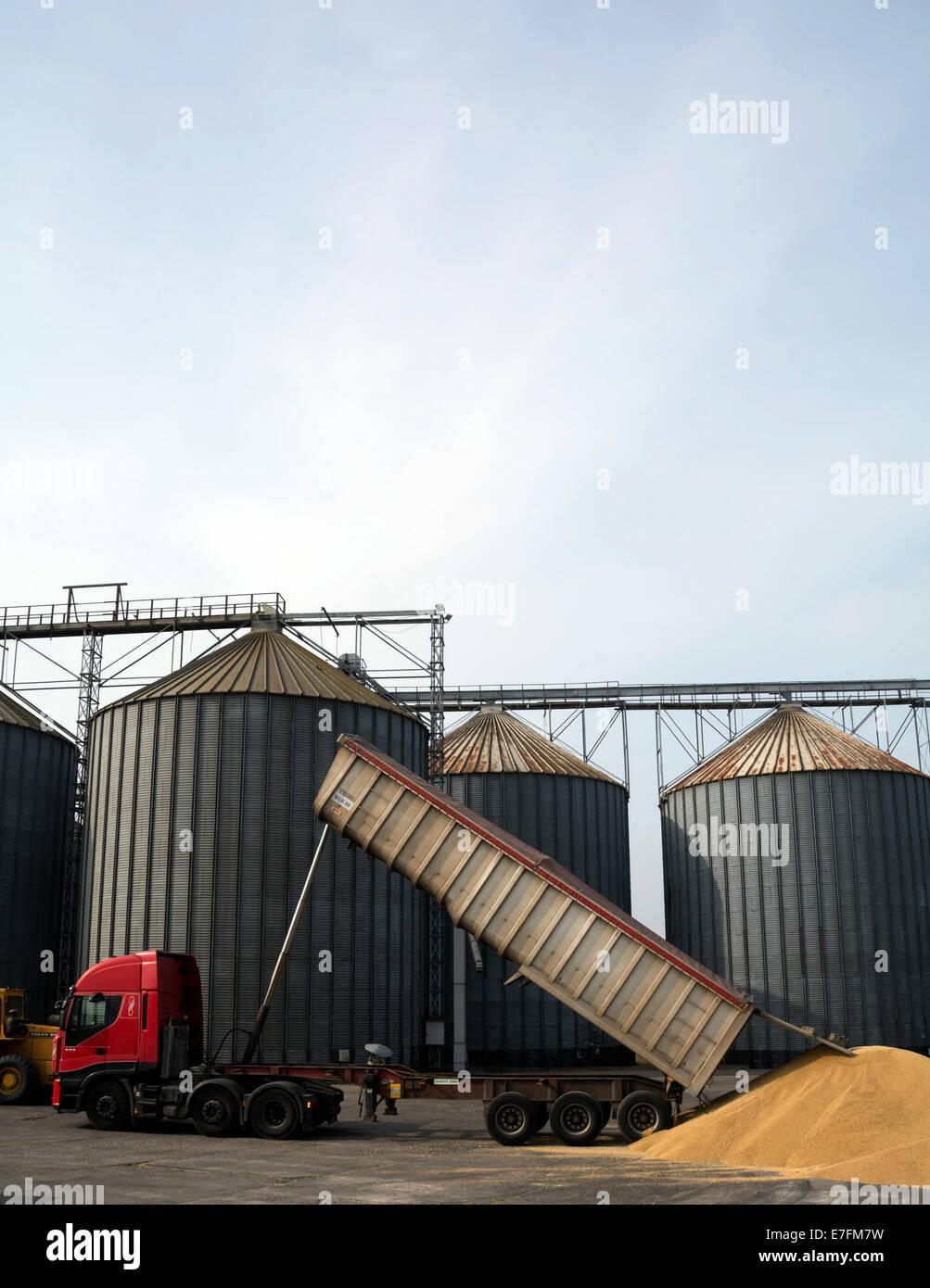 Eine massive Kipper liefert Getreide für die Lagerung und Verarbeitung, wird es weggeworfen, draußen, Stockbild