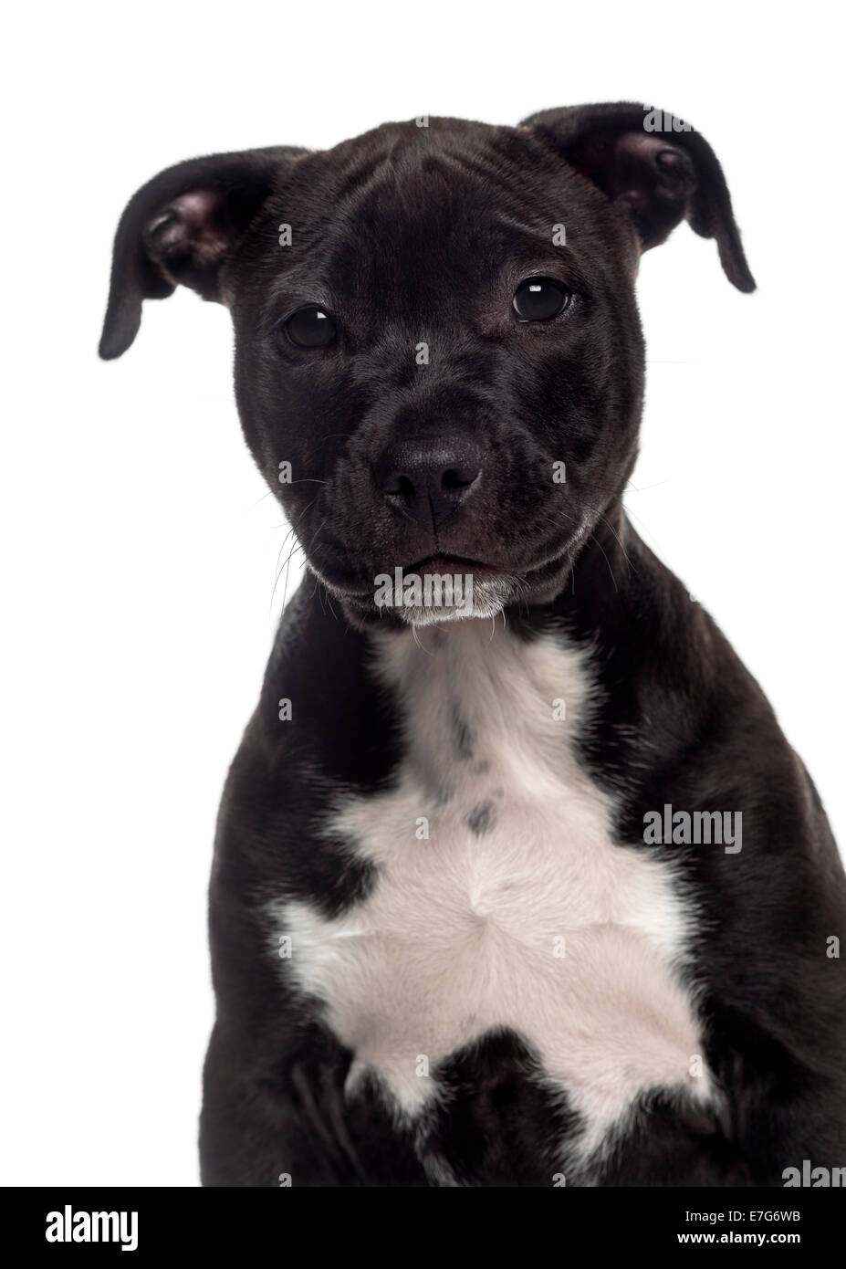 Kopfschuss Von Einem American Staffordshire Terrier Welpen 3 Monate Alt Vor Weissem Hintergrund Stockfotografie Alamy