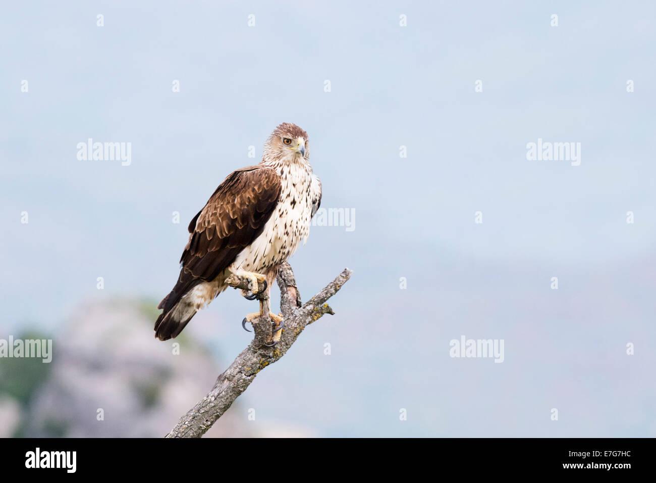 Habichtsadler (Aquila Fasciata) thront auf einem Ast. Stockbild