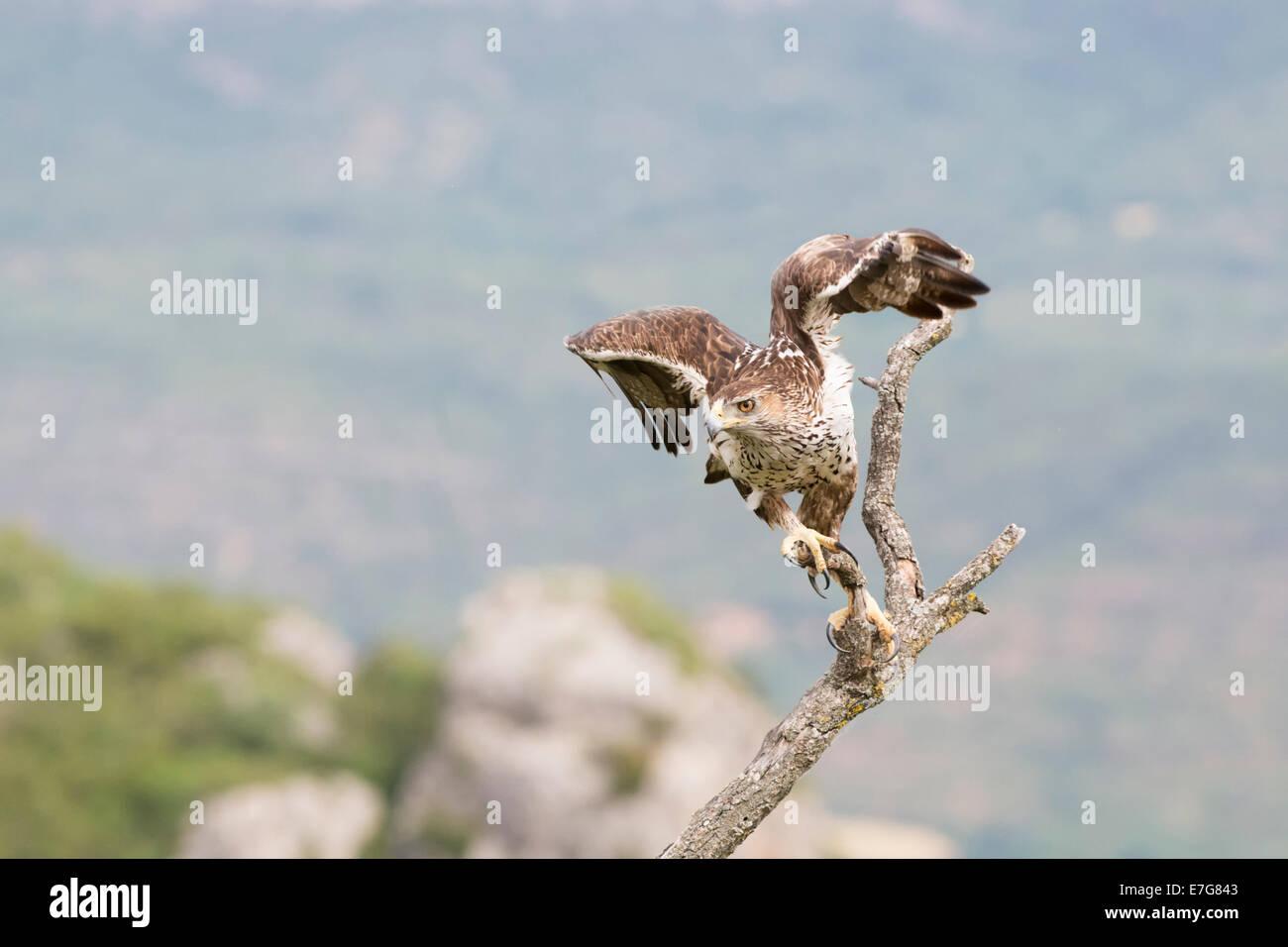 Bonelli Adler (Aquila Fasciata) fliegen eines Zweiges. Stockbild