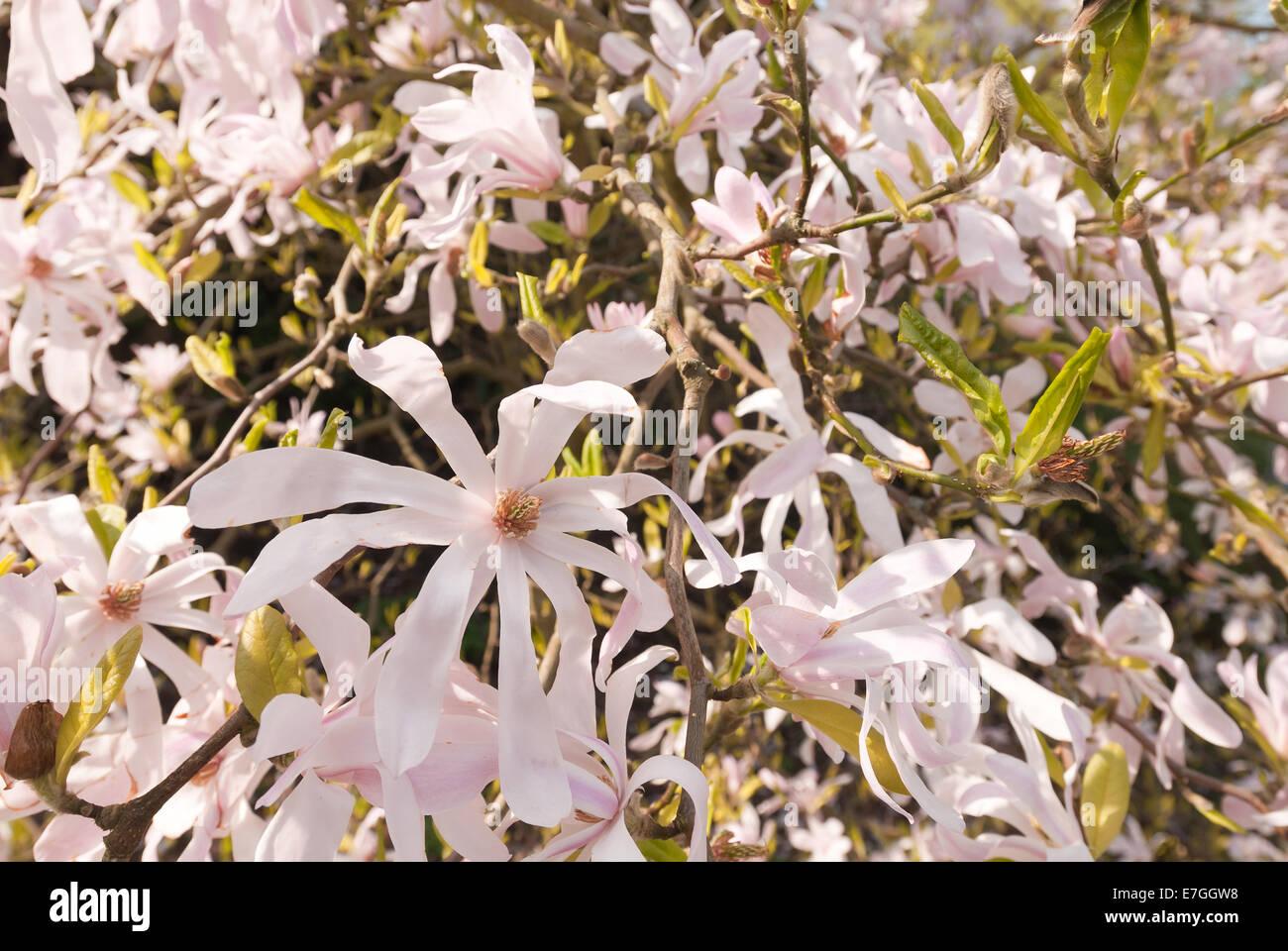 Erste Blumen Fruhling Viele Sanfte Rosa Farbton Magnolie Blume