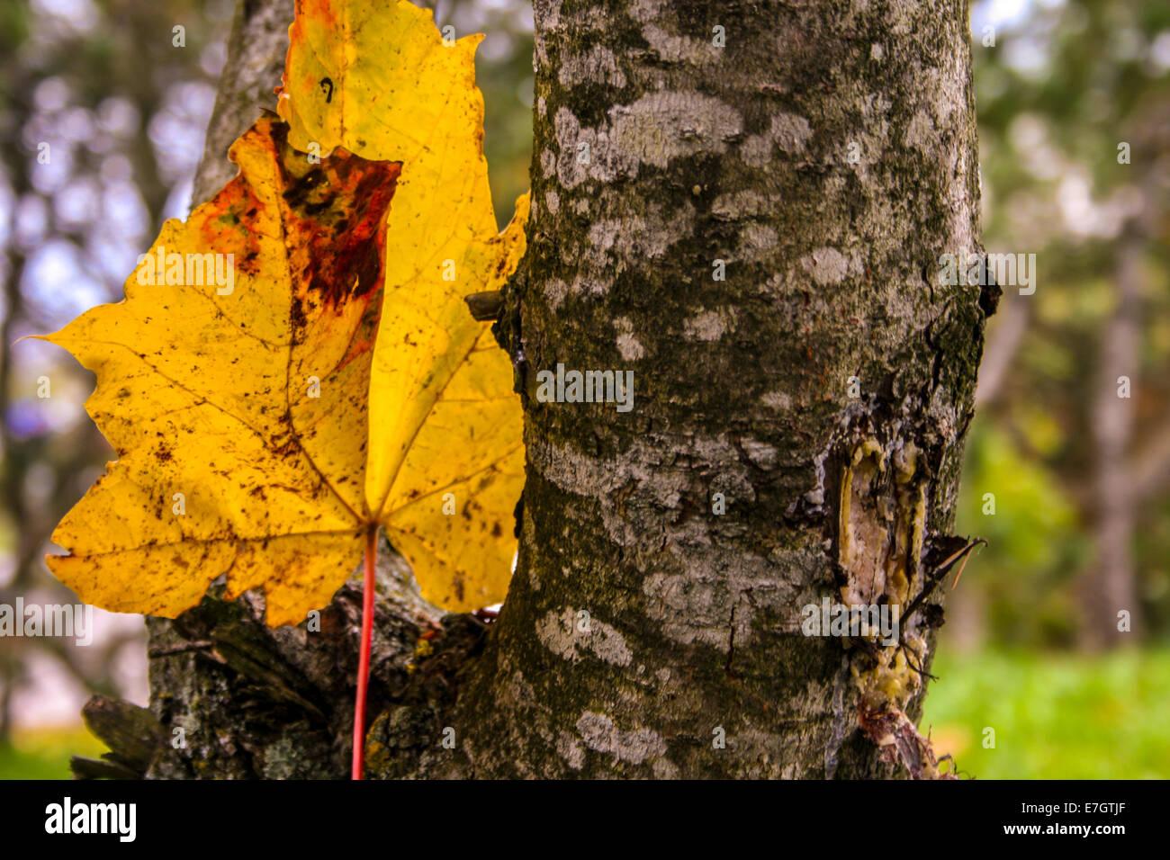 Maple Leaf Stockbild