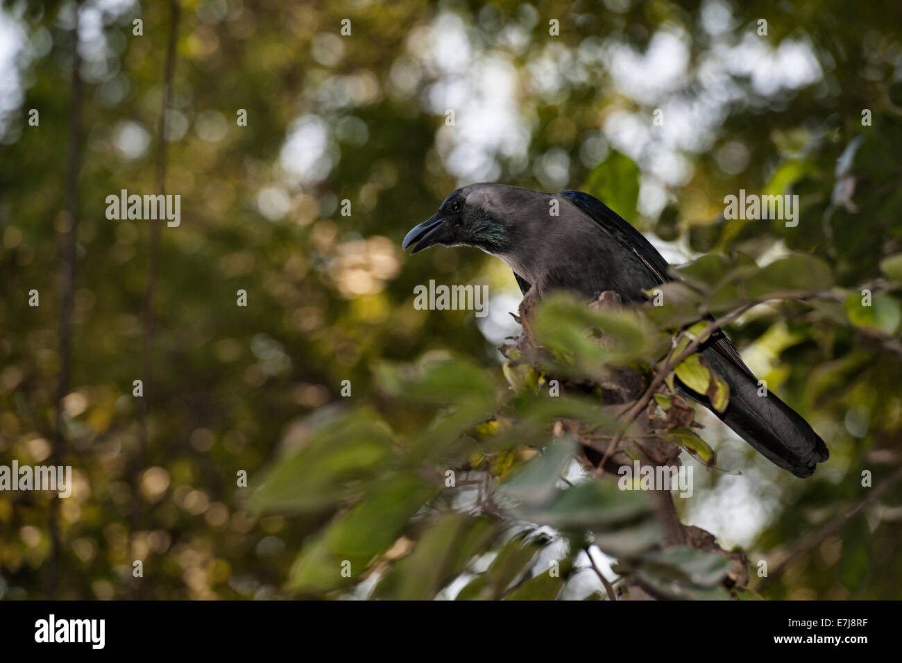 Haus-Krähe, Corvus Splendens, Rabenvögel, Allahabad, Indien Stockbild