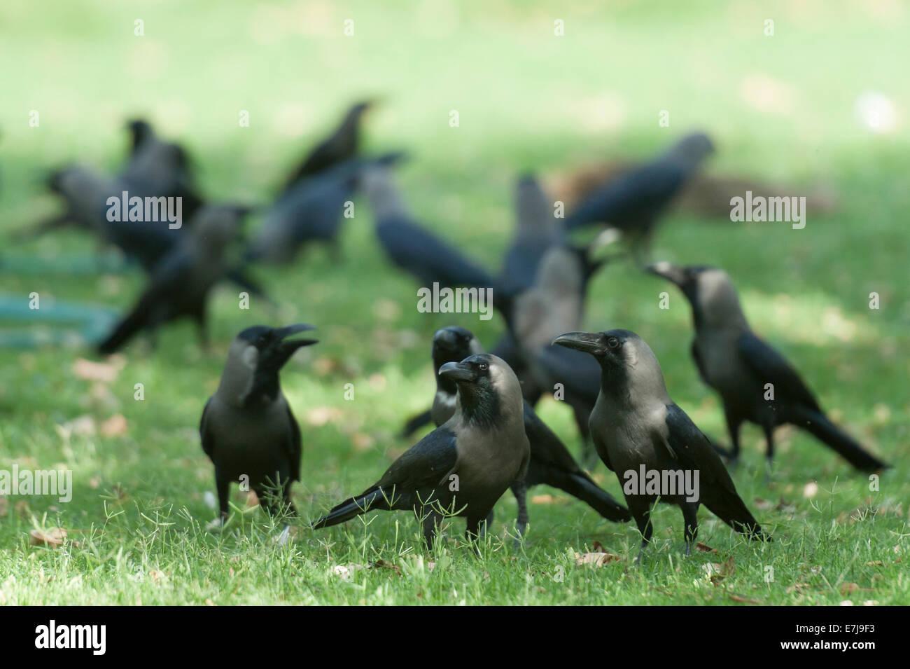 Haus-Krähe, Corvus Splendens, Rabenvögel, Jaipur, Rajasthan, Indien, Asien Stockbild