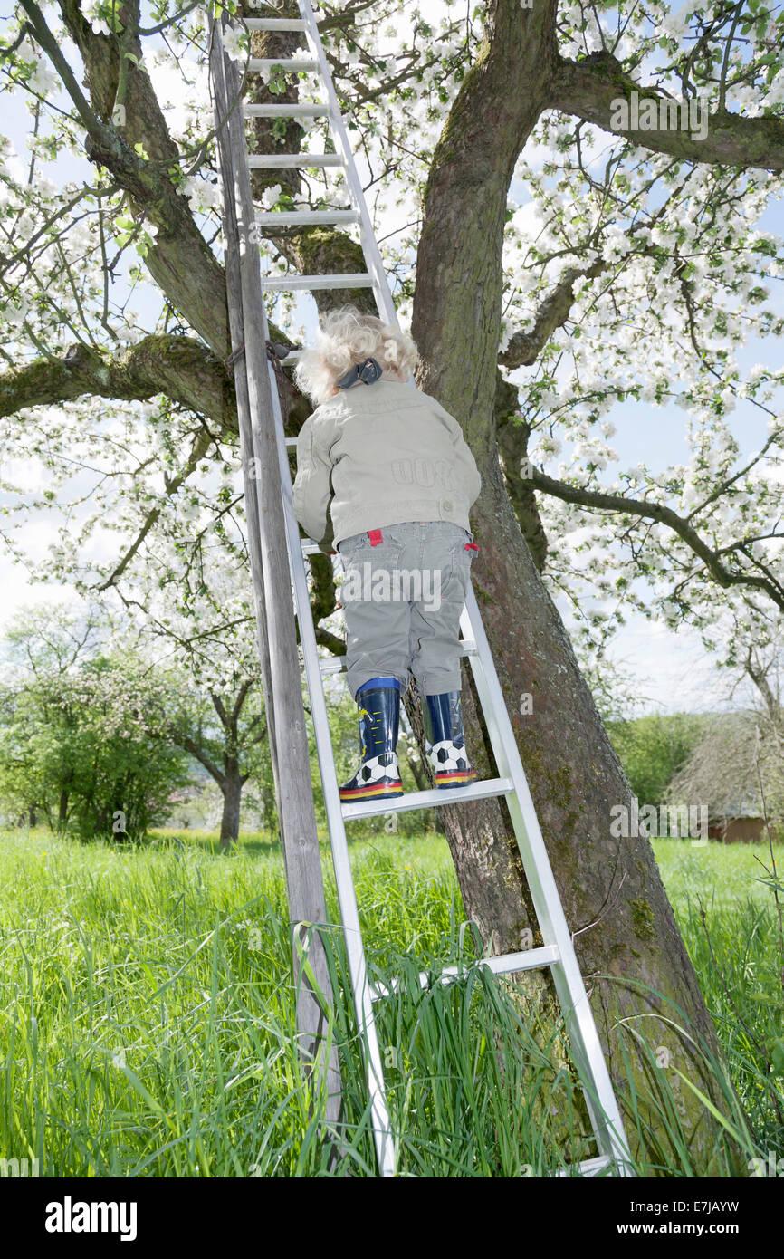 Junge, 3, Klettern auf eine Leiter zu einem blühenden Obstbaum Stockbild