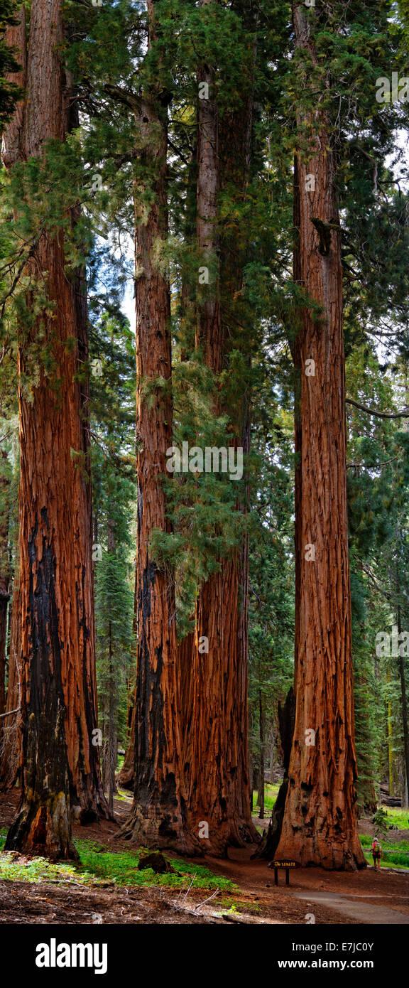 Der Senat, eine Gruppe von riesigen gigantischen Sequoia Bäumen (Sequoiadendron Giganteum), mit staunenden Besucher, Sequoia National Park Stockfoto
