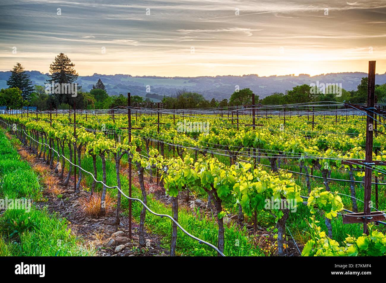 Sonnenuntergang über Weinberge in Kalifornien Wein-Land. Sonoma County, Kalifornien Stockfoto