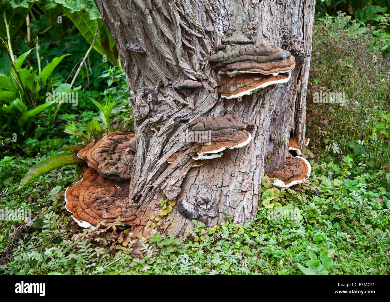 tree parasite stockfotos tree parasite bilder alamy. Black Bedroom Furniture Sets. Home Design Ideas
