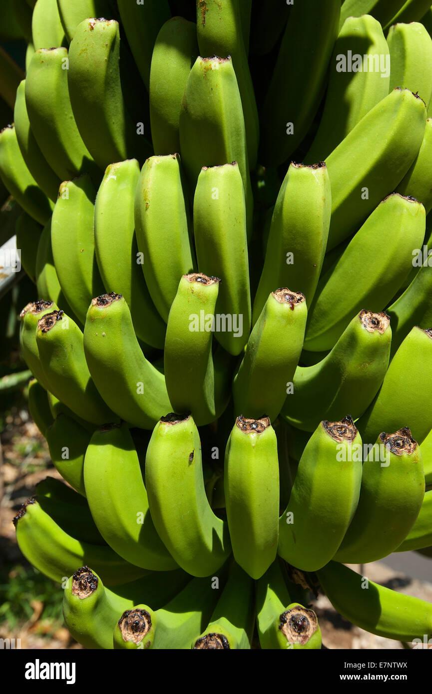 Kanaren, Kanarische Inseln, Inseln, La Palma, Spanien, Europa, draußen, Tag, niemand, Bananen, Obst, Früchte, Stockbild