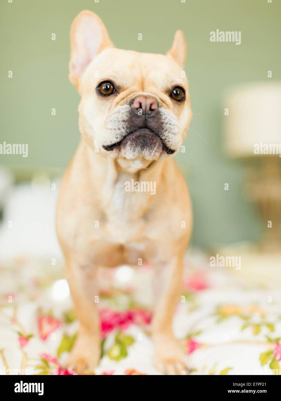 Studioaufnahme Von Französische Bulldogge Auf Bettwäsche Stockfoto