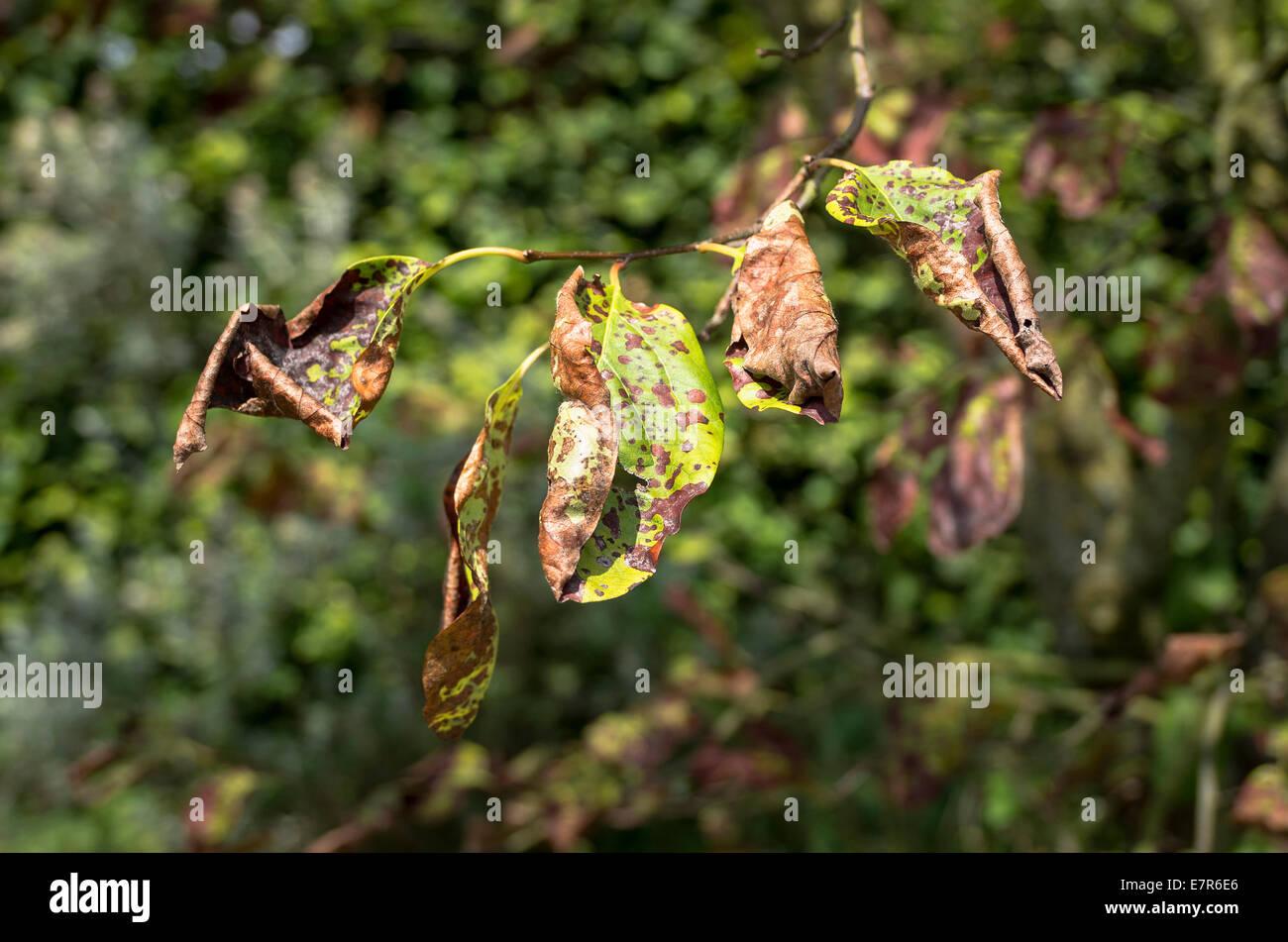 Welke Blätter an einem Quitte Baum zeigt eine Form der Verderbnis Stockbild