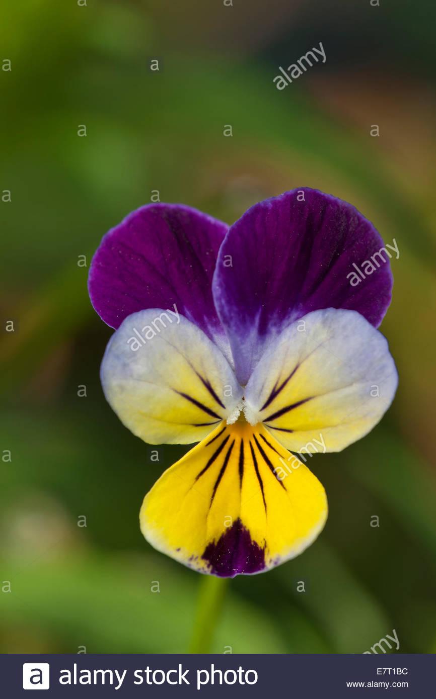 Welche Blumen Blühen Im September stiefmütterchen viola tricolor jährliche lila violett