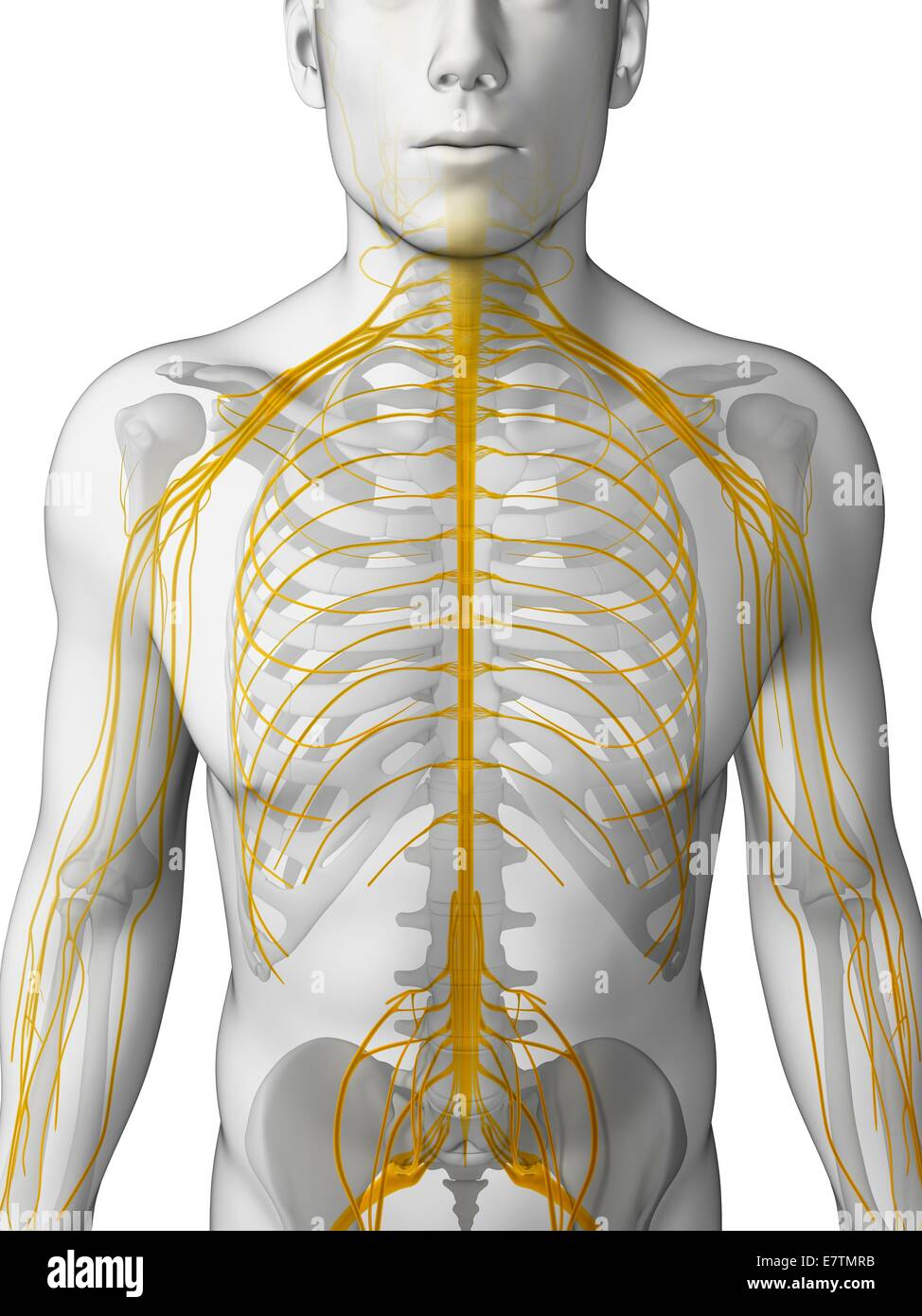 Menschlichen Nervensystem, Computer-Grafik Stockfoto, Bild: 73687247 ...