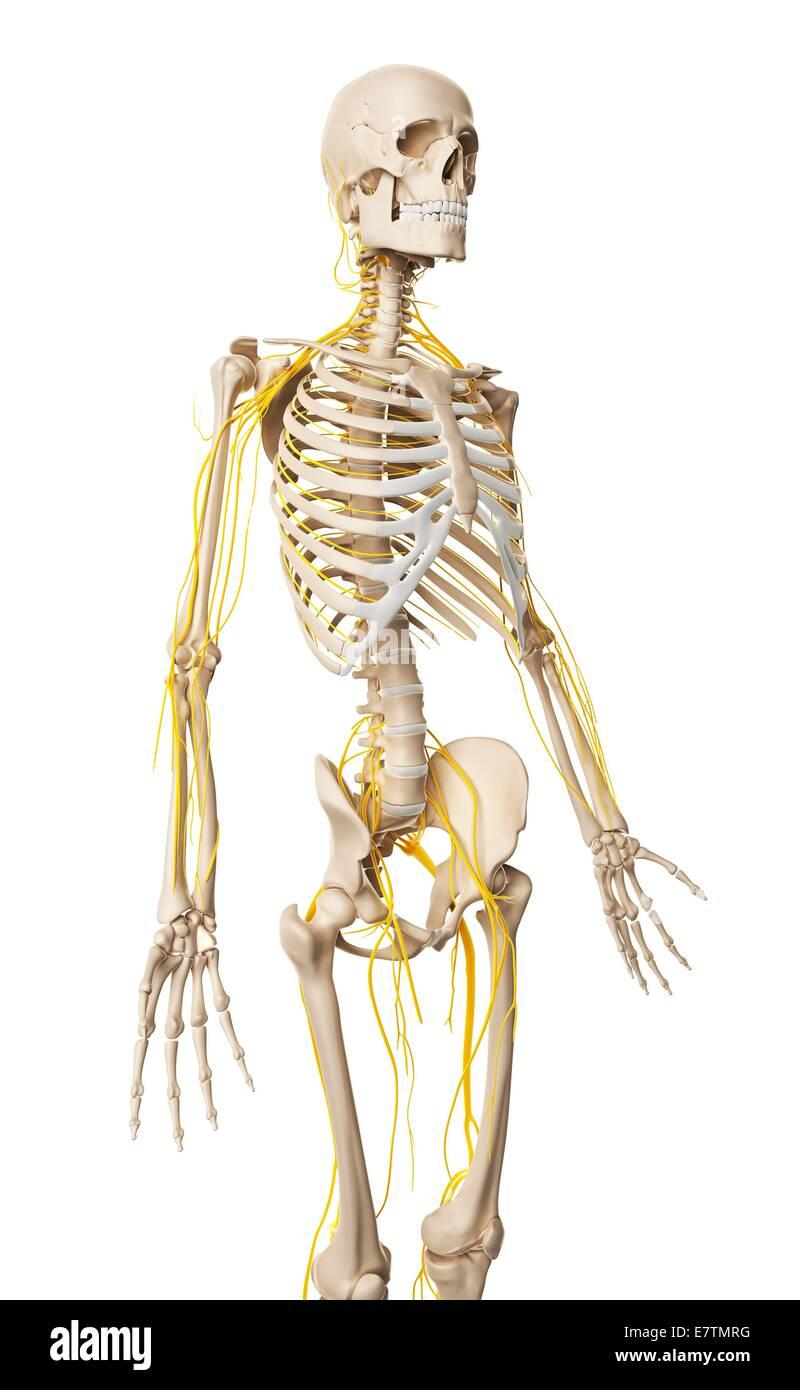 Beste Menschliche Nervensystem Bilder Galerie - Menschliche Anatomie ...