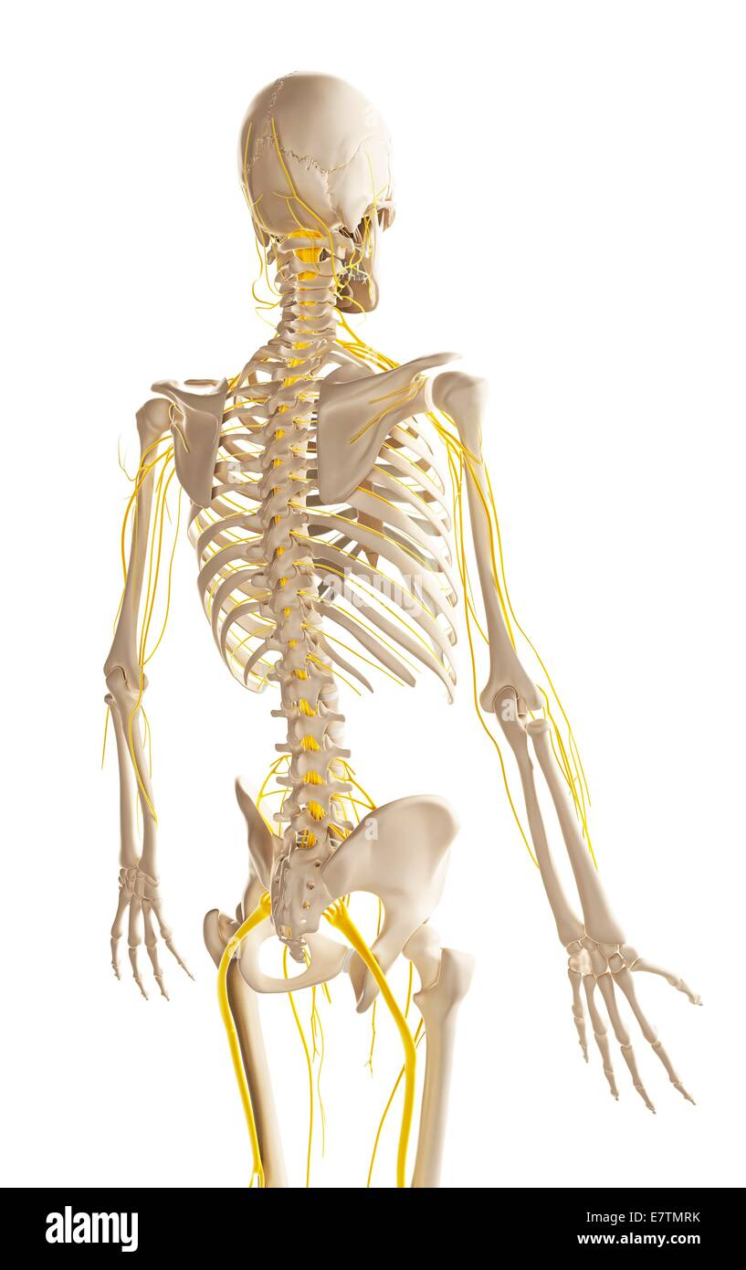 Erfreut Menschliches Nervensystem Zeitgenössisch - Menschliche ...