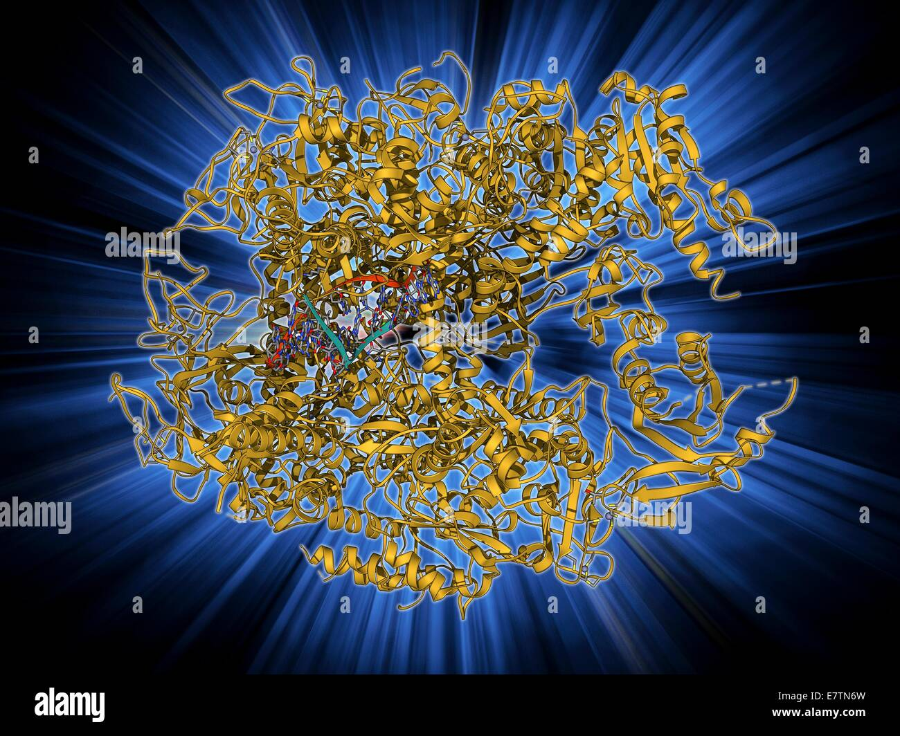 DNA-Transkription. Molekülmodell des Enzyms RNA-Polymerase II, die ...