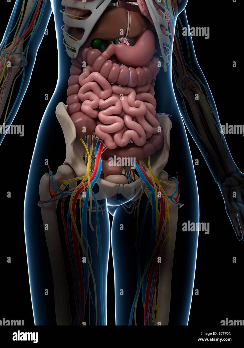 Weibliche Darm Anatomie, Computer-Grafik Stockfoto, Bild: 73688181 ...