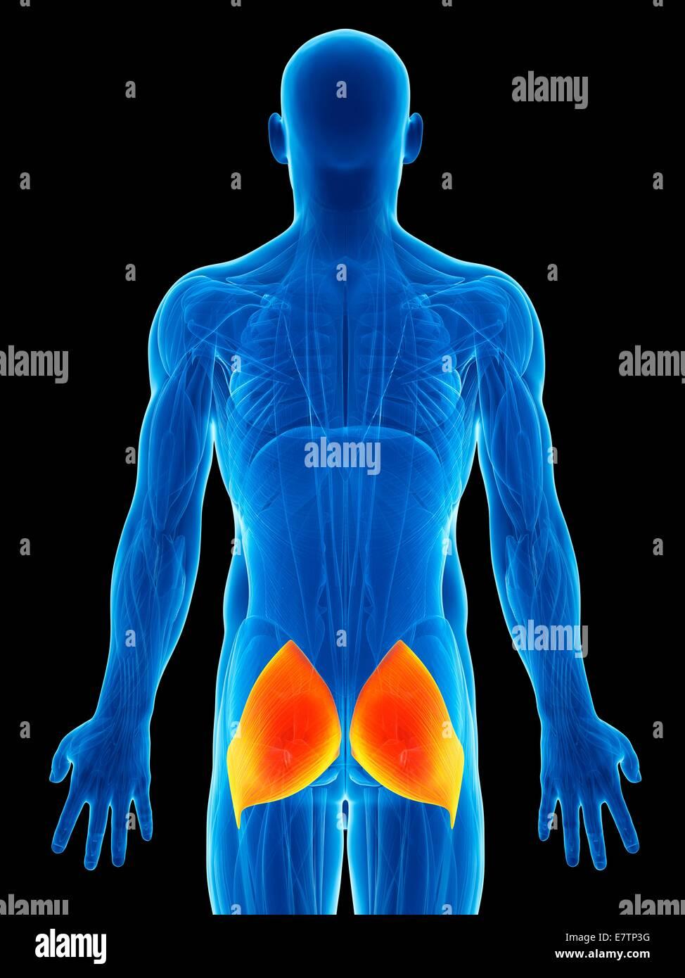 Gluteus Maximus Muscle Stockfotos & Gluteus Maximus Muscle Bilder ...