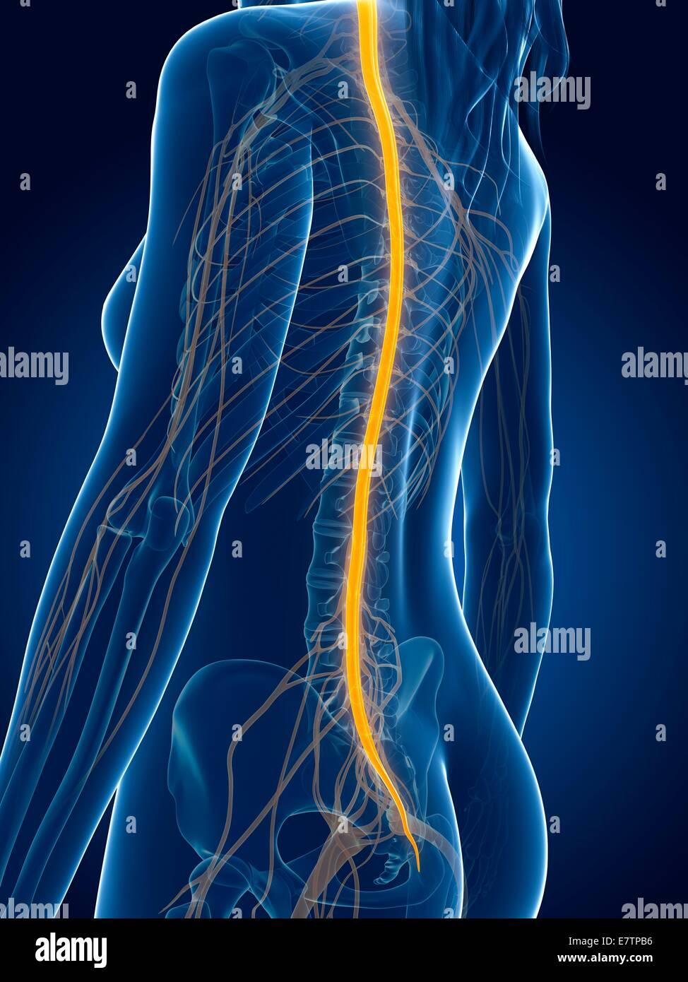 Menschlichen Rückenmark, Computer-Grafik Stockfoto, Bild: 73688474 ...