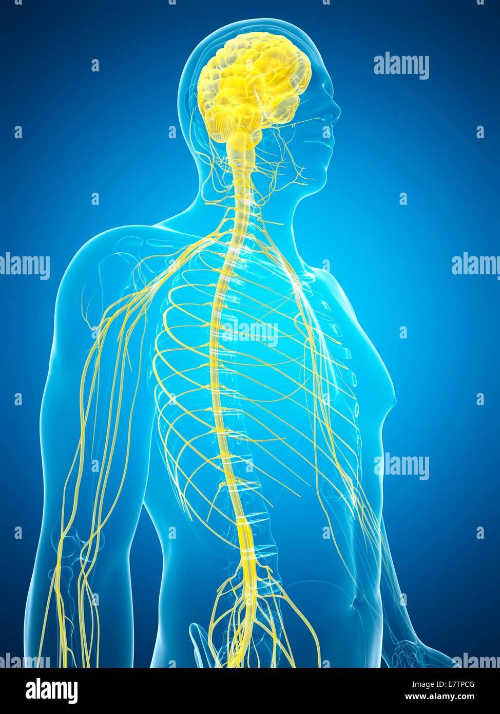 Atemberaubend Nervensystem Zeitgenössisch - Anatomie Und Physiologie ...