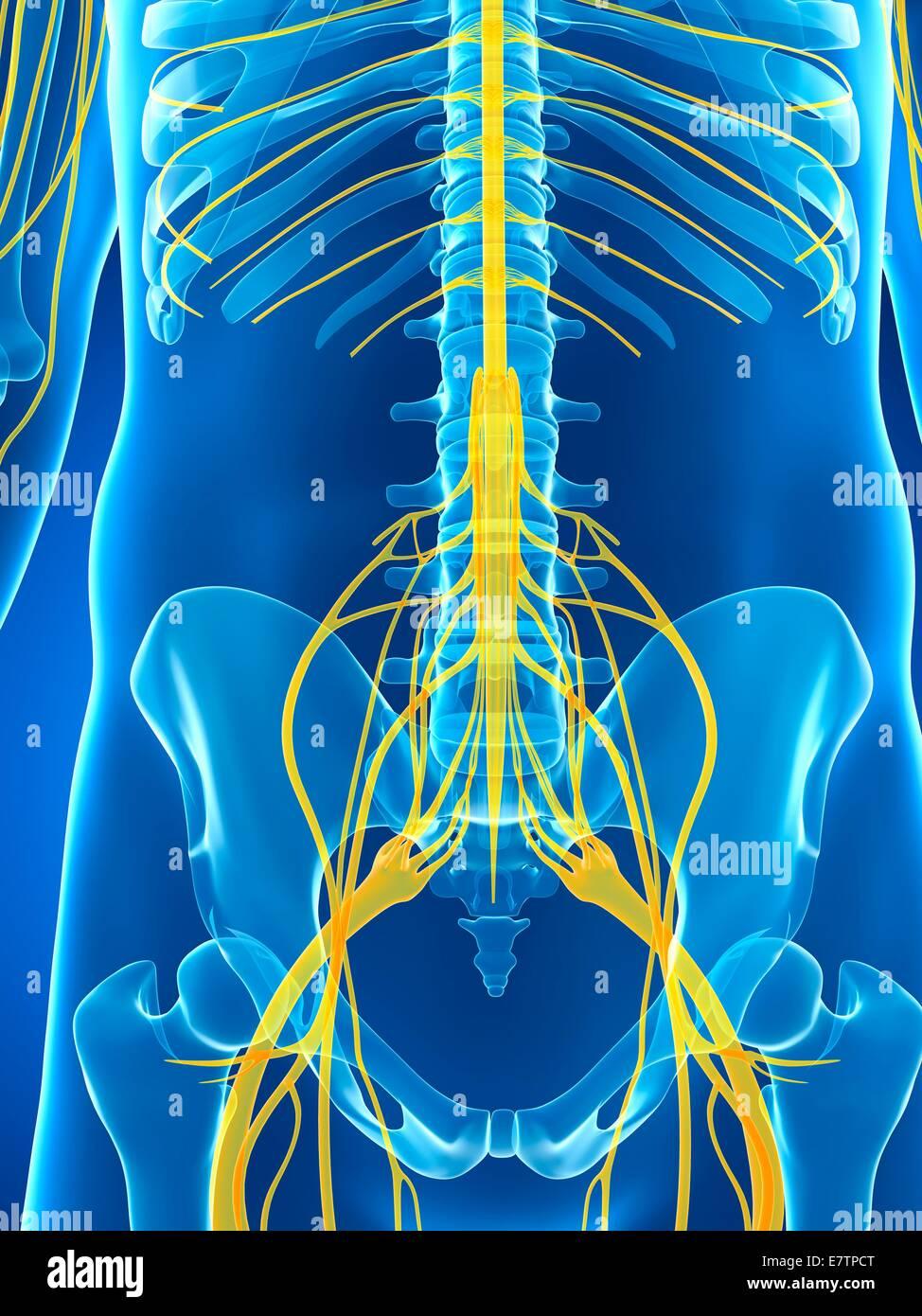 Berühmt Anatomie Des Männlichen Fortpflanzungssystems Bilder Ideen ...