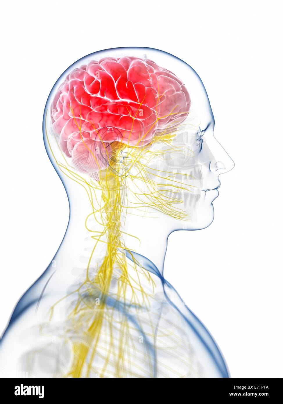 Menschliche Gehirn Anatomie, Computer-Grafik Stockfoto, Bild ...