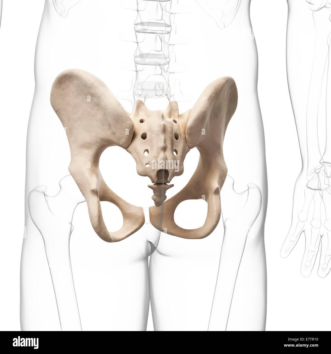 Pelvic Bone 3d Stockfotos & Pelvic Bone 3d Bilder - Alamy