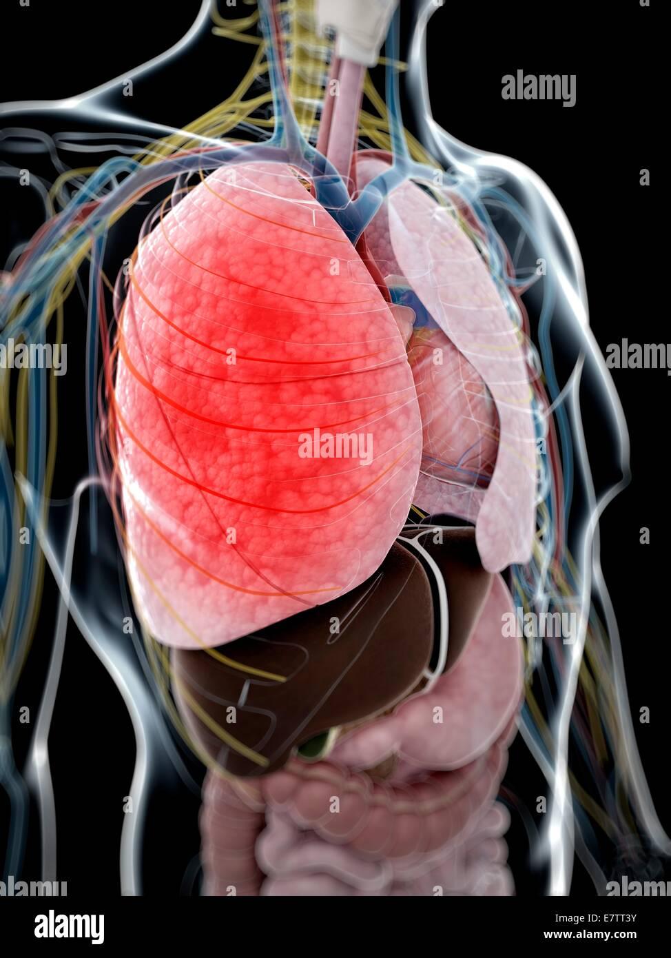 Menschliche Anatomie der Lunge, Computer-Grafik. Stockbild