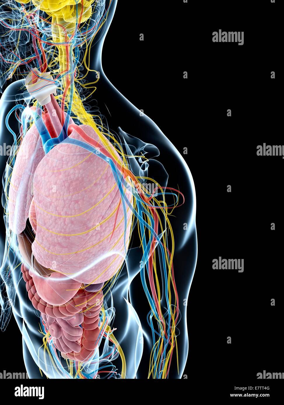 Tolle Menschliche Anatomie Und Physiologie 1 Abschlussprüfung Fotos ...