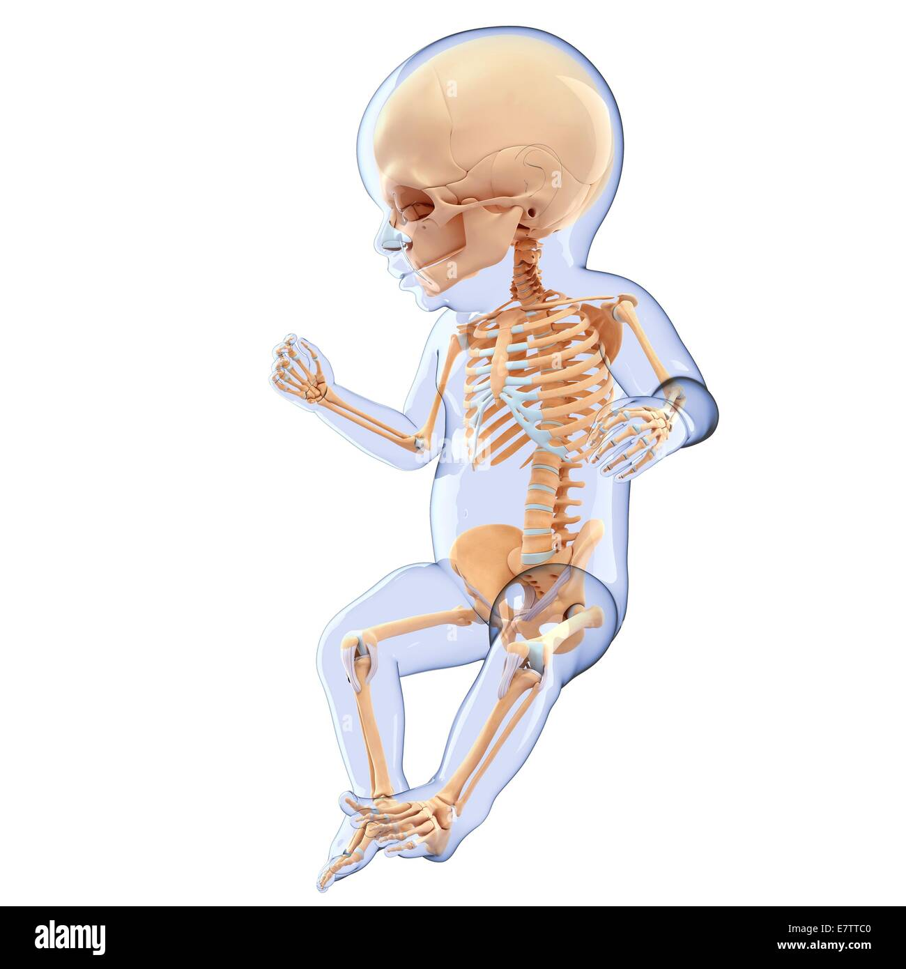 Babys-Skelett-System, Computer-Grafik Stockfoto, Bild: 73690064 - Alamy