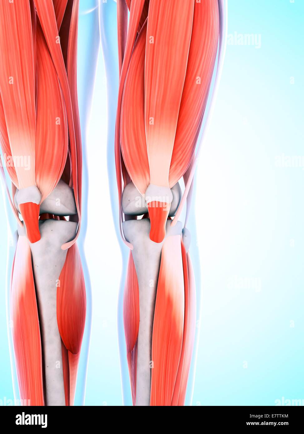 Menschliches Bein und Knie Muskeln, Computer-Grafik Stockfoto, Bild ...