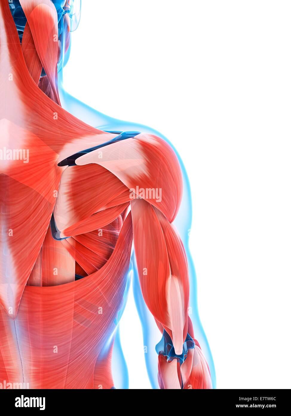 Menschliche Rückenmuskulatur, Computer-Grafik Stockfoto, Bild ...