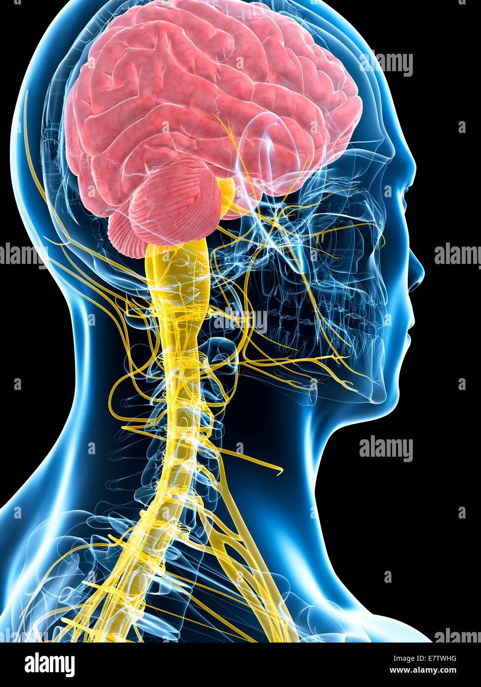 Beste Anatomie Des Gehirns Und Des Rückenmarks Galerie - Anatomie ...