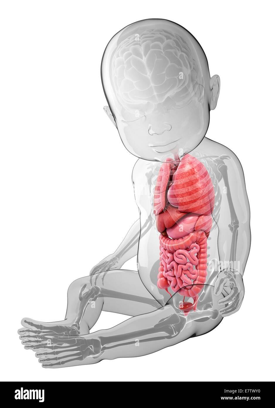 Tolle Schwein Fötus Anatomie Bilder - Menschliche Anatomie Bilder ...