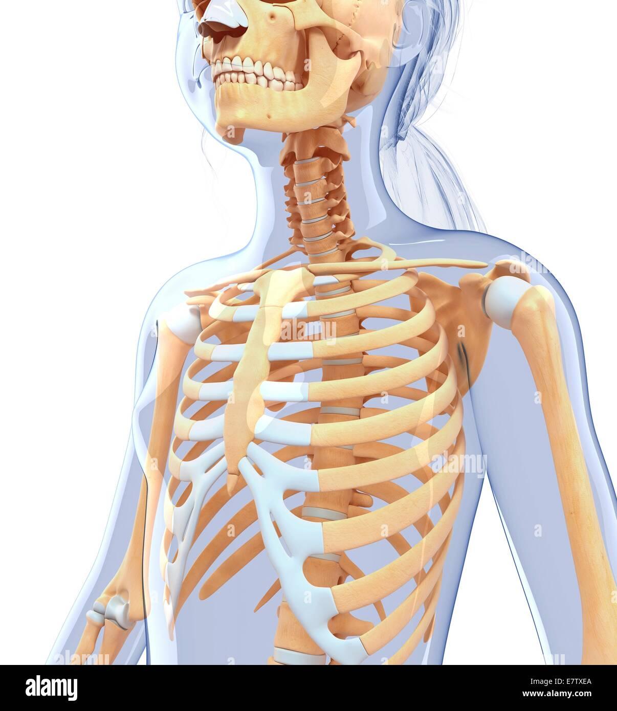 Menschlichen Brustkorb, Computer-Grafik Stockfoto, Bild: 73691698 ...